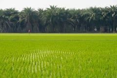 Vue de la jeune pousse de riz prête à dans le terrain de riz Photos libres de droits