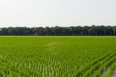 Vue de la jeune pousse de riz prête à dans le terrain de riz Image libre de droits