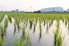 Vue de la jeune pousse de riz prête à dans le terrain de riz Image stock
