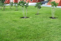 Vue de la pelouse verte bien-toilettée et des buissons lilas photo libre de droits
