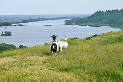 Vue de la rivière avec des chèvres Image stock