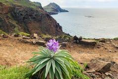 Vue de littoral avec le maderensis endémique de Matthiola de fleur, île de la Madère image stock