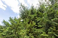 Vue de lumière du jour du fond à l'arbre de sapin vert photo stock