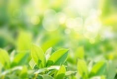 Vue de nature de plan rapproché de feuille verte sur le fond brouillé de verdure dans le jardin avec l'espace de copie employant  images libres de droits