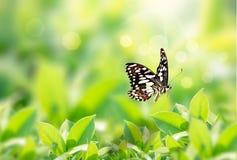 Vue de nature de plan rapproché de papillon avec la feuille verte sur le fond brouillé de verdure dans le jardin avec l'espace de images stock