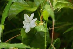Vue de nature de plan rapproch? de fleur de jasmin dans le jardin ? l'?t? sous la lumi?re du soleil photographie stock libre de droits