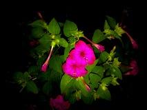 Vue de nuit de fleur de jalapa de Mirabilis photographie stock libre de droits