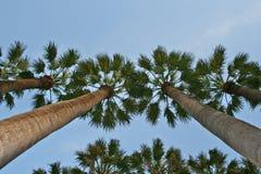 Vue de palmiers de soufflet Photos libres de droits