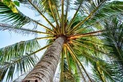 Vue de paume verte grande avec le grand tronc et de feuilles avec le fond de ciel dans les tropiques images libres de droits