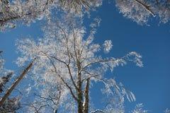 Vue de perspective de forêt d'hiver Photo stock