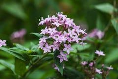 Vue de plan rapproché de belle fleur de milkweed de marais photographie stock
