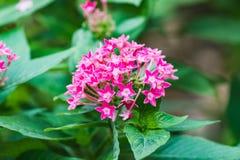 Vue de plan rapproché de belle fleur de milkweed de marais images libres de droits
