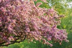 Vue de plan rapproché de belles fleurs de floraison fraîches de pommier sur le fond vert d'arbres photo stock