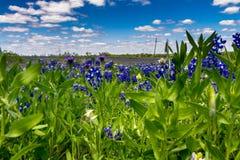 Vue de plan rapproché de champ couverte avec Texas Bluebonnet Wildflowers célèbre photo libre de droits