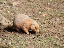 Vue de plan rapproché de chien de prairie Photo libre de droits