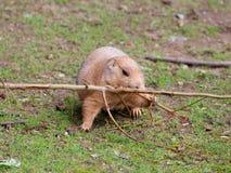 Vue de plan rapproché de chien de prairie Image libre de droits