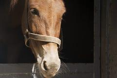 Vue de plan rapproché de mule Photographie stock libre de droits