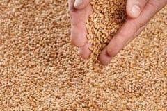Vue de plan rapproché de Pale Pilsener Malt Grains dans des mains Ingrédient f photos stock