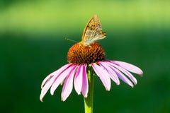 Vue de plan rapproché de papillon de paon sur la fleur Image libre de droits