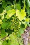 Vue de plan rapproché de premiers raisins de ressort dans un vignoble Photo libre de droits