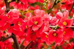 Vue de plan rapproché des fleurs rouges de coing japonais Photo libre de droits