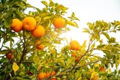 Vue de plan rapproché des oranges sur l'arbre d'un verger sicilien, Italie image stock