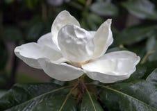 Vue de plan rapproché de fleur de magnolia, avec la pluie légère image libre de droits