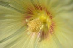 Vue de plan rapproché de l'intérieur de la fleur jaune de rose trémière Image stock