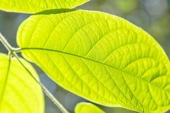 Vue de plan rapproché de la feuille verte Fond naturel photo stock