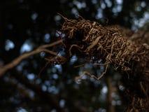 Vue de plan rapproché de longue racine nue d'arbre exotique comme des branches dans le brun avec le foyer sélectif photos libres de droits