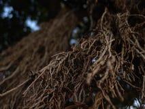Vue de plan rapproché de longues branches nues d'arbre exotique dans le brun avec le foyer sélectif photos stock