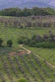 Vue de portrait d'une plantation d'olivier en Toscane Photos libres de droits
