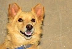 Vue de portrait de chien de Brown Image stock
