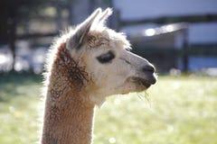 Vue de profil de visage de lama Images libres de droits
