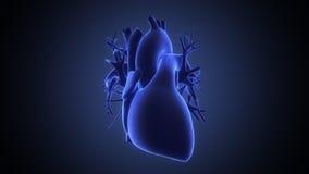 Vue de rayon X de coeur humain Images libres de droits