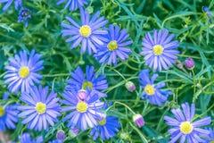 Vue de ressort des marguerites bleues lumineuses fleurissant dans le jardin sous la lumière du soleil naturelle à l'été ou à la j Images libres de droits