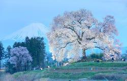 Vue de soirée de Wanitsuka lumineux Sakura (un cerisier géant de 300 ans) sur une colline avec le mont Fuji couronné de neige Photos stock