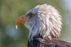 Vue de tête d'aigle chauve Image libre de droits