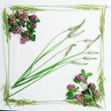 Vue de trèfle et d'herbe de champ sur le blanc Images libres de droits