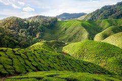 Vue de vallée avec des plantations de thé en Cameron Highlands Image libre de droits