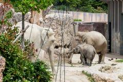 Vue des éléphants dans le nouveau composé dans un zoo Images libres de droits