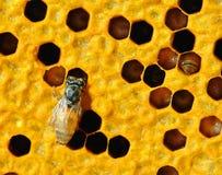 Vue des abeilles fonctionnantes sur des honeycells. Photographie stock libre de droits