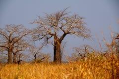 Vue des baobabs dans la savane angolaise photos stock