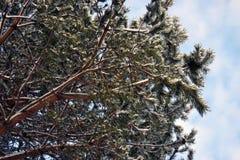 Vue des branches gelées couvertes de neige d'un pin dans la perspective de ciel bleu dans l'endroit à distance photos libres de droits