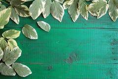 Vue des feuilles variées goutweed sur la vieille turquoise peinte W Image libre de droits