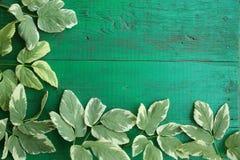 Vue des feuilles variées goutweed sur la vieille turquoise peinte W Image stock