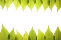 Vue des feuilles vertes d'isolement sur le fond blanc Photographie stock