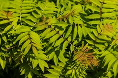 Vue des feuilles vertes de buisson dans le jardin tôt de printemps images libres de droits