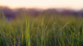 Vue des lames de l'herbe au coucher du soleil banque de vidéos