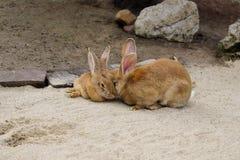 Vue des lapins g?ants flamands bruns domestiques de paires photo libre de droits